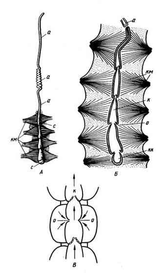 Кровеносная система пчелы: